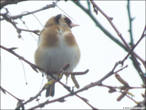 30 Days Wild - Goldfinch