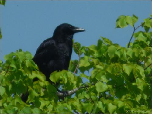 16-5-crow
