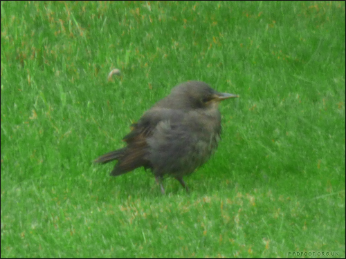 baby-starling-12-5