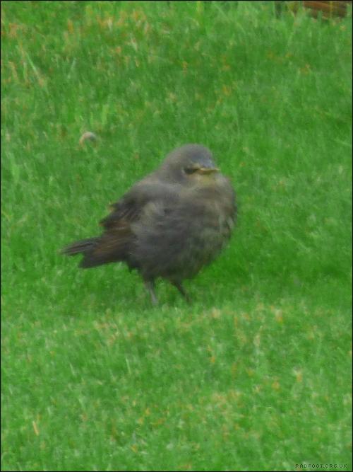 baby-starling2-12-5