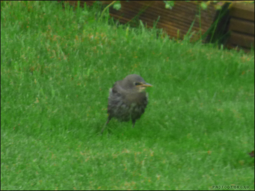 baby-starling3-12-5