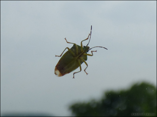Dragon Goes Wild - Day 10 - Green Shield Bug