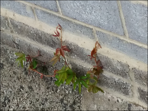 Dragon Goes Wild - Day 12 - Virginia Creeper