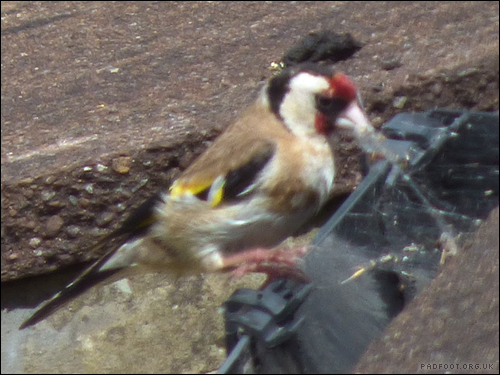 Dragon Goes Wild - Day 15 - Goldfinch on the web
