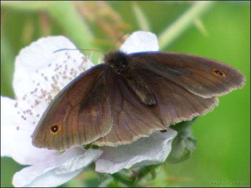 Dragon Goes Wild - Day 25 - Meadow Brown Butterfly