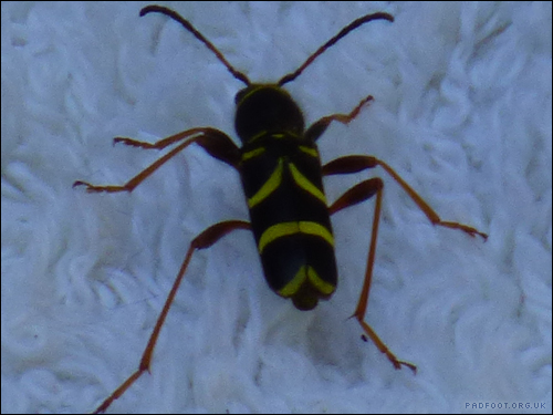 Dragon Goes Wild - Wasp Beetle