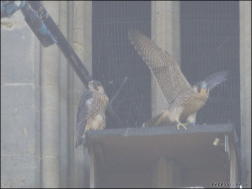 Dragon Goes Wild - Day 6 - Peregrines