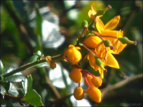 Dragon Goes Wild - Orange Berberis flower