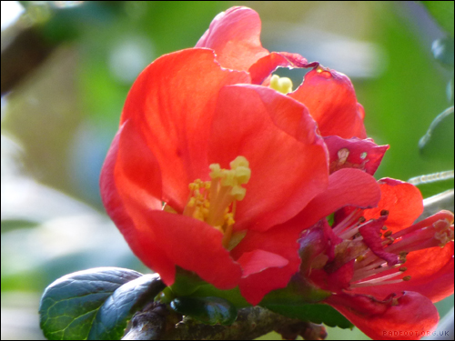 rainbow1-red-quince