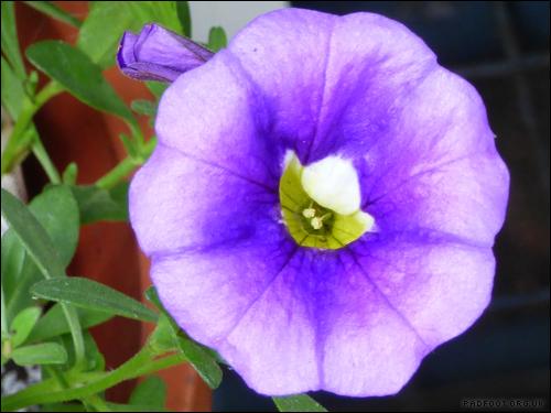rainbow7-violet-bedding-plant