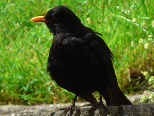Dragon Goes Wild - Day 41 - Blackbird Sunbathing