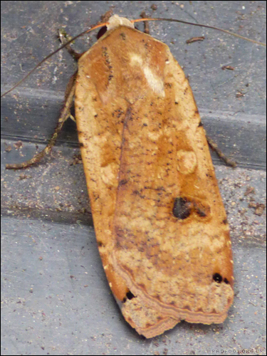 Dragon Goes Wild - Day 43 - Large Yellow Underwing