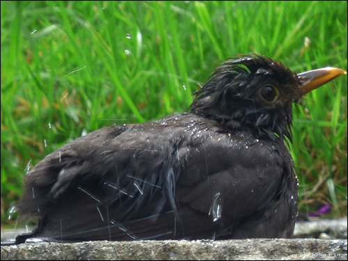Dragon Goes Wild - Day 44 - Bathing Blackbird