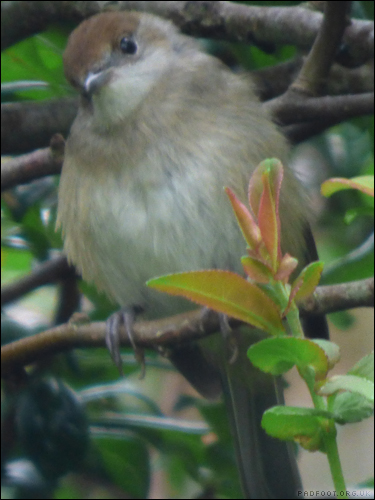 Dragon Goes Wild - Day 46 - Female Blackcap