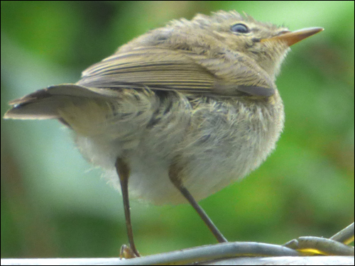 Dragon Goes Wild - Day 48 - Young Chiffchaff
