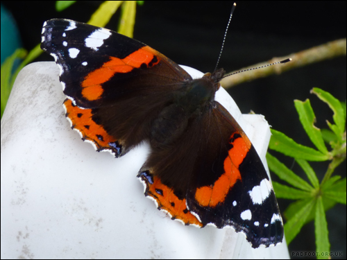 Dragon Goes Wild - Day 72 - Red Admiral
