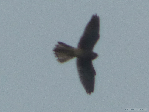 Dragon Goes Wild - Day 73 - Sparrowhawk or Kestrel?