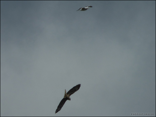 Dragon Goes Wild - Day 66 - Buzzard and seagull