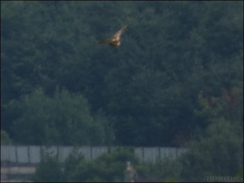 Dragon Goes Wild - Day 68 - Buzzard Diving