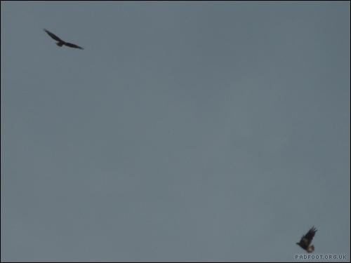 Dragon Goes Wild - Day 68 - Pair of Buzzards