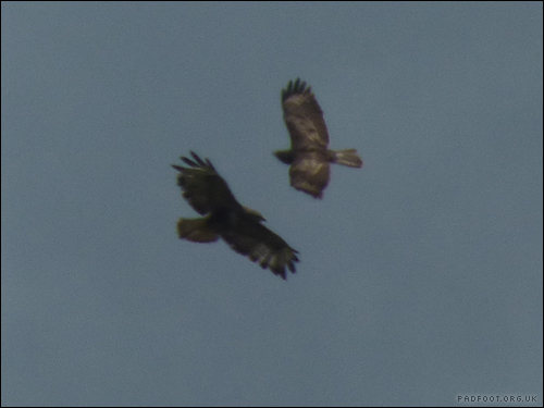 Dragon Goes Wild - Day 68 - Pair of Buzzards