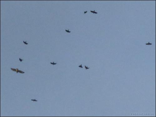 10-mobbing-crows