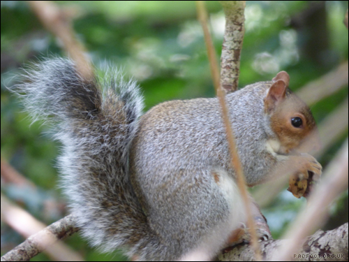 Dragon Goes Wild - 17th October - Grey Squirrel